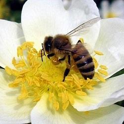 В Пензе пчелы уже собирают нектар и пыльцу с цветущих растений