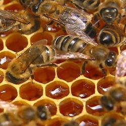 В Карелии вскоре будет принят закон, регулирующий пчеловодческую деятельность