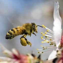 США будет продолжать использовать вредные для жизнедеятельности пчел неоникотиноиды