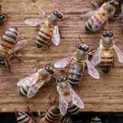 Более полугода семья из Америки прожила в доме с большим количеством пчел