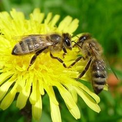 Американские ученые стараются спасти пчелиную популяцию с помощью банка спермы