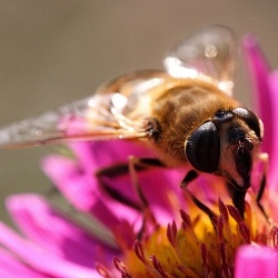 Стало известно еще об одном опасном для жизнедеятельности пчел пестициде